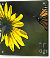 Incoming Monarch Acrylic Print