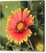 Indian Blanket Flower Acrylic Print