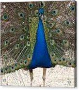 Indian Blue Acrylic Print