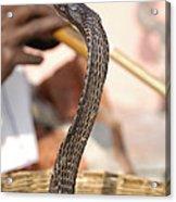 Indian Cobra Acrylic Print
