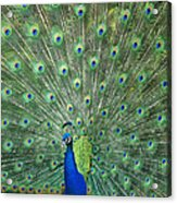 Indian Peafowl Pavo Cristatus Male Acrylic Print