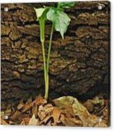 Indian Turnip 5582 0240 Acrylic Print