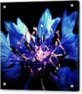 Indigo Bachelor  Acrylic Print