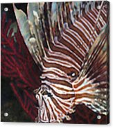 Indonesian Lionfish On A Wreck Site Acrylic Print