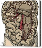 Inferior Mesenteric Artery And The Aorta Acrylic Print