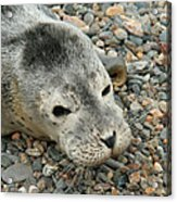 Injured Harbor Seal Acrylic Print by Ted Kinsman