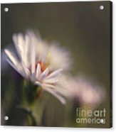 Innocence 02 Acrylic Print by Variance Collections