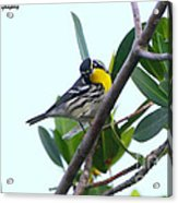Inquisitive Yellow Throated Warbler Acrylic Print