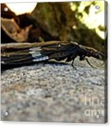 Insect Stripes Acrylic Print