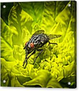 Insect Up Close - Summer Fly Sunbathing On A Yellow Perennial Garden Plant - Macro Photography Acrylic Print