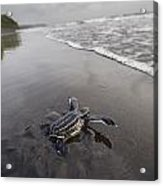 Instinct Sends A Young Leatherback Acrylic Print by Joel Sartore