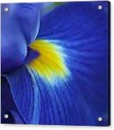 Intense Iris Bloom Acrylic Print