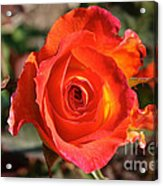 Intense Rose Acrylic Print