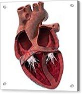 Internal Heart Anatomy, Artwork Acrylic Print by Claus Lunau