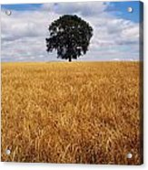 Ireland, Barley Field With Oak Tree Acrylic Print
