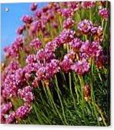 Ireland Close-up Of Seapink Wildflowers Acrylic Print