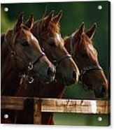 Ireland Thoroughbred Horses Acrylic Print