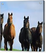 Ireland Thoroughbred Yearlings Acrylic Print