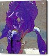 Iris 37 Acrylic Print