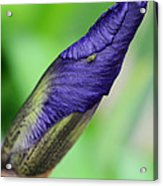 Iris And Friend Acrylic Print