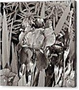 Iris Enhanced With Pencil Acrylic Print