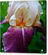 Iris Finery Acrylic Print