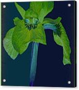 Iris Flower Design Acrylic Print