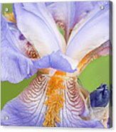 Iris Full Bloom Acrylic Print