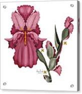Iris IIi  Acrylic Print by Anne Norskog