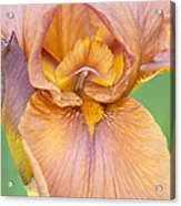 Iris In Gold  Acrylic Print