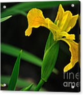 Iris In Yellow Acrylic Print