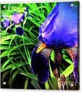 Iris Acrylic Print by Kevyn Bashore