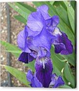 Iris Of Taos Acrylic Print