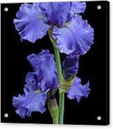 Iris On Black Acrylic Print