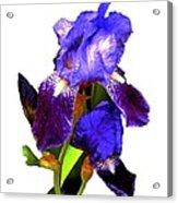 Iris On White Acrylic Print