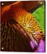 Iris Stamen Macro Acrylic Print