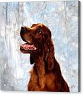 Irish Red Setter Acrylic Print