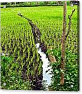Irrigated Rice Field Acrylic Print