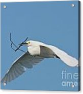 Is It Nesting Time  Acrylic Print