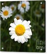 Isn't That A Daisy Acrylic Print