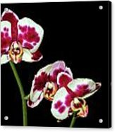 Isolated Orchids Acrylic Print