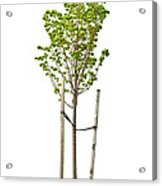Isolated Young Linden Tree Acrylic Print