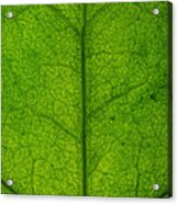 Ivy Leaf Acrylic Print