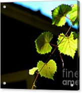 Ivy League Acrylic Print