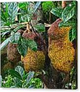 Jack Fruit Acrylic Print