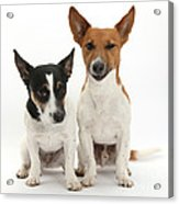 Jack Russell Terrier Dog, Rockie Acrylic Print