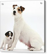 Jack Russell Terrier Mother And Puppy Acrylic Print