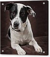 Jack Russell Terrier On A Brown Studio Acrylic Print