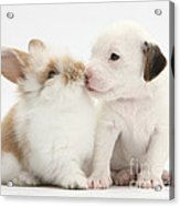 Jack Russell Terrier Puppy And Baby Acrylic Print