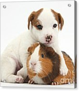 Jack Russell Terrier Puppy And Guinea Acrylic Print